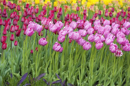 Multicolored tulips photo
