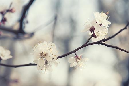 apricot tree: Apricot tree flower