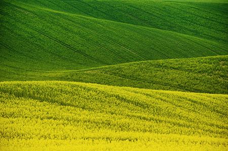 campo de flores: Campo verde amarilla de colza en primavera