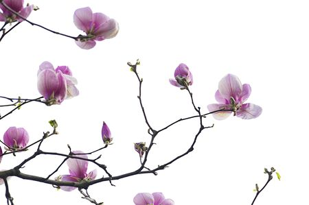 magnolia branch: Magnolia flower on white