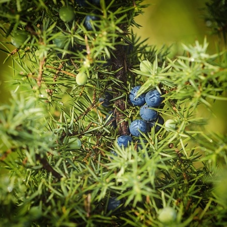 juniper: Juniper berries on the tree Stock Photo
