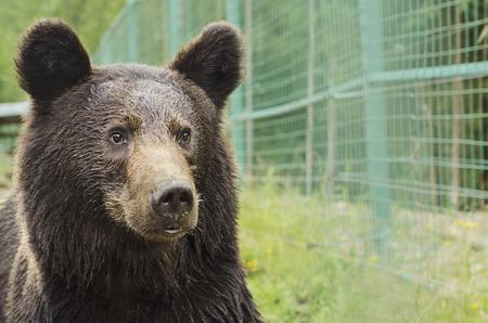 wet bear: Portrait of a bear in a Zoo with wet fur