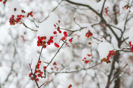 eberesche: Rowan in the snow Lizenzfreie Bilder