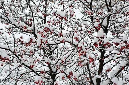 clusters: Clusters of red rowan berry under the snow, seasonal holiday natural background
