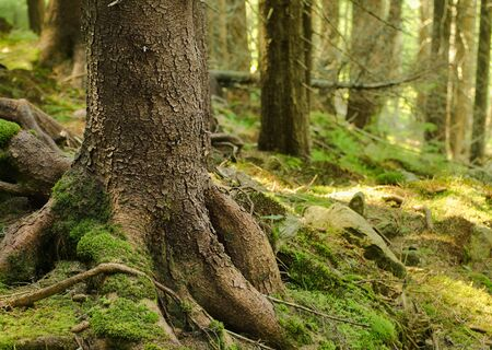 mistic: A dense mistic green forest with big tree root, natural background