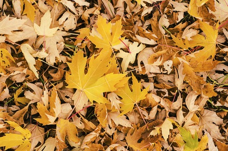 fall beauty: Autumn background with golden maple leaf, selective focus