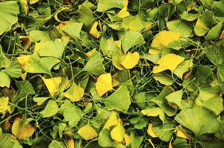 gingko: Green and yellow fall leaves of Gingko Biloba - healing plant