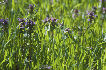 nature natural: Thymus , thyme - healing herb and condiment growing in nature, natural floral background