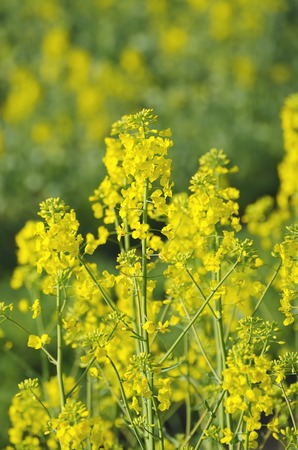 rappi: Rapeseed field with yellow flowers, natural agricultural eco spring background