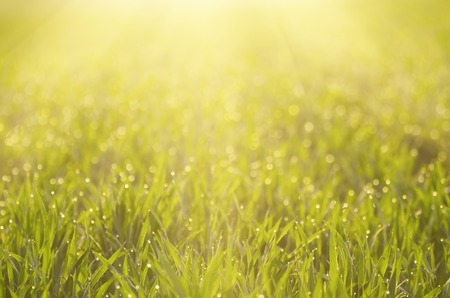 to field: Sunny green grass  field suitable for backgrounds or wallpapers, natural seasonal landscape