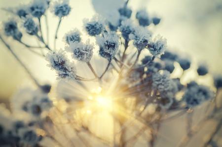 pianta prato congelata, naturale vintage background inverno, macro con sole splendente