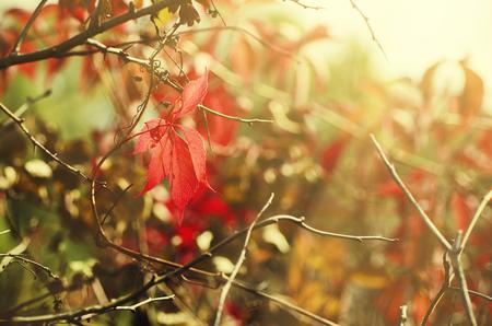 uvas: Wild grape leaves, natural sunny seaasonal autumn background