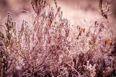 frozen winter: Frozen heather flower, floral vintage winter  background, macro image Stock Photo