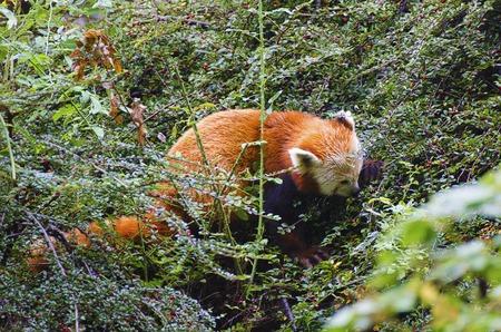 bearcat: Red lesser panda aka Ailurus fulgens feeding with berries in bushes Stock Photo