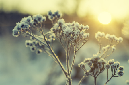 beautiful sunshine: Frozen meadow plant, natural vintage winter  background, macro image with sun shining Stock Photo