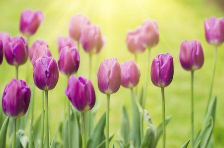 tulip: Wiosną łąki z kwiatami fioletowy tulipan, kwiatowy tła słoneczny