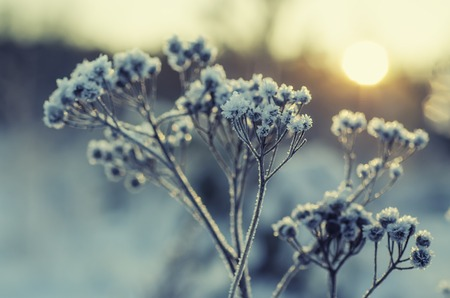 macro image: Frozen meadow plant, natural vintage winter  background, macro image with sun shining Stock Photo