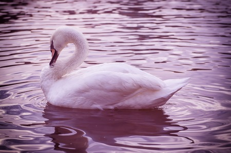 swimming swan: Beautiful white swan swimming on the water with reflection