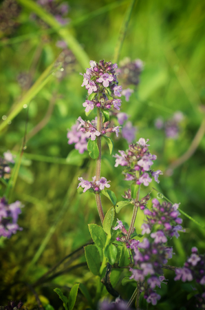 thymus: Thymus , thyme - healing herb and condiment growing in nature, natural floral background