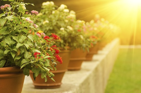 bouquet: Ceramic pots with blooming red and white flowers in the park with green lawn and sun rays