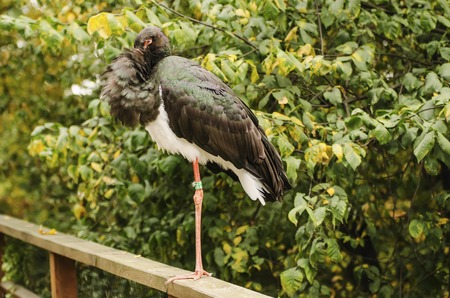 black stork: Ciconia nigra, black stork staying on the one foot in the zoo, animal background