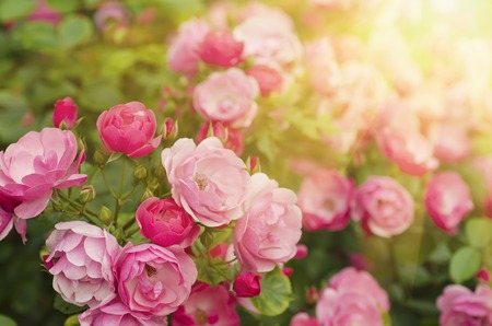 Pink  beautiful  rose growing in the garden, floral sunny background Standard-Bild