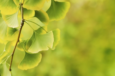 healing plant: Green and yellow fall leaves of Ginkgo Biloba - healing plant, nature sunny background