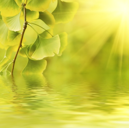 healing plant: Green and yellow fall leaves of Ginkgo Biloba - healing plant, nature sunny background with water reflection