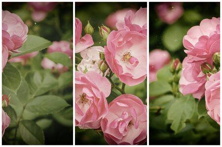 ramo de flores: Hermosa rosa que crece en el jard�n, colecci�n inconformista retro vintage a partir de tres im�genes verticales
