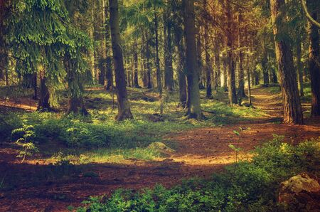 北スカンジナビアの松林、スウェーデン自然旅行アウトドア ビンテージ ヒップスター背景