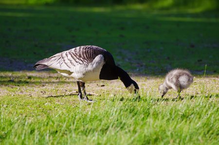 goose head: Canada goose, Branta canadensis. Wildlife animal. Family from mother-bird and fluffy baby gosling