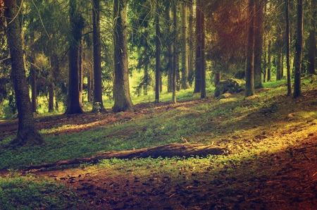 mountain scene: North scandinavian pine forest, Sweden natural travel outdoors vintage hipster background