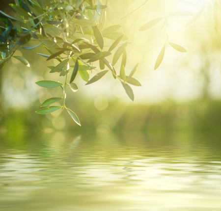 Olive tree with leaves, natural sunny agricultural food  background with water reflection 스톡 콘텐츠