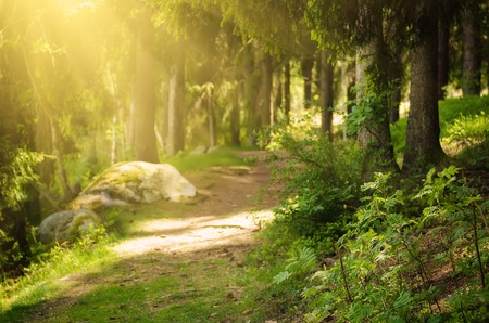 suomi: North scandinavian pine sunny forest with path and stones, Sweden natural travel outdoors background