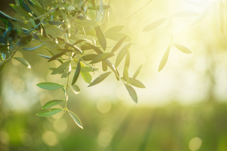 nature of sunlight: Olive tree with leaves, natural sunny agricultural food  background Stock Photo