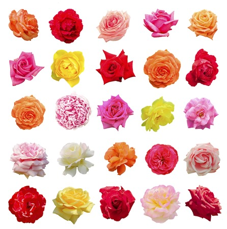 set up: Big set of colorful roses blooms, isolated on the white background. Valentine holiday collection.
