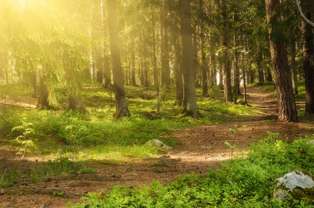 scenic: North scandinavian pine sunny forest with path and stones, Sweden natural travel outdoors background