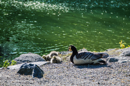 anseriformes: Canada goose, Branta canadensis. Wildlife animal. Family from mother-bird and fluffy baby goslings on the lake coast