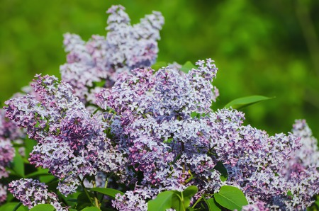 blue romance: Branch of lilac flowers with green  leaves, floral natural background, soft focus