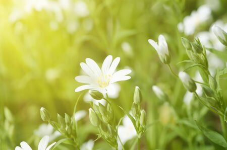 arvense: White tender spring flowers, Cerastivum arvense, growing at meadow. Seasonal natural floral background with sun shining