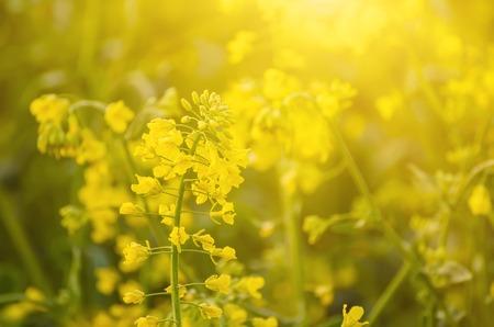 crecimiento planta: Campo de colza con flores amarillas, eco agrícola natural de fondo soleado de primavera Foto de archivo