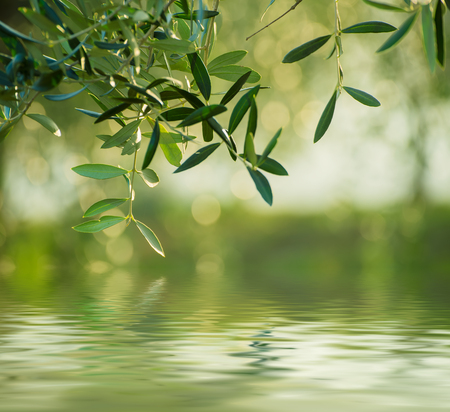 Olive tree with leaves, natural  agricultural food  background with water reflection