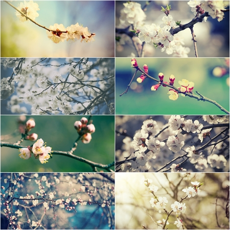 spring bud: Collection of apricot and plum  flowers in spring time, natural seasonal abstract vintage hipster background