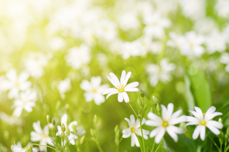 may: White tender spring flowers, Cerastivum arvense, growing at meadow. Seasonal natural floral background with sun shining