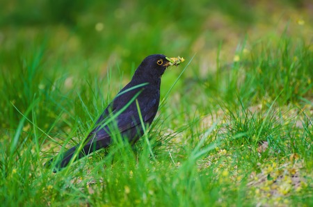 catbird: Black thrush  - Turdus merula male bird, sitting in the spring green grass and holding worms in the yellow beak