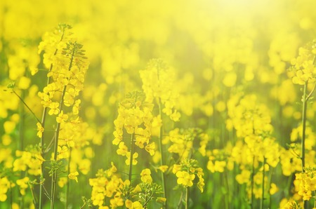 napus: Rapeseed field with yellow flowers, natural agricultural eco sunny spring background Stock Photo