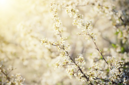 seasonal: Spring seasonal background with blooming plum tree branches and sun rays, natural seasonal floral background