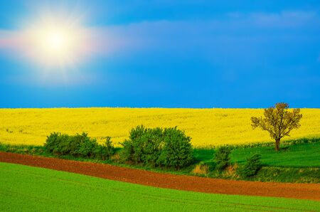 Rapeseed yellow fields in spring with blue sky, hills and tree, natural eco seasonal background with sun shining
