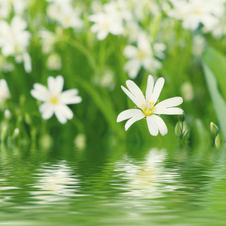 arvense: White tender spring flowers, Cerastivum arvense, growing at meadow. Seasonal natural floral background with water reflection Stock Photo