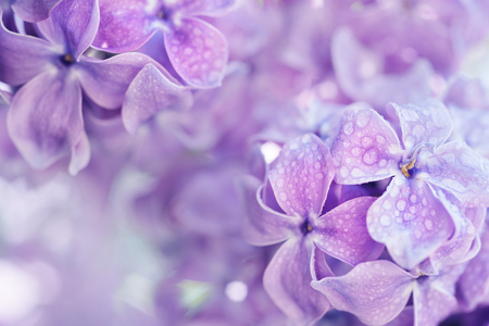 Macro image of spring soft violet  lilac flowers with water drops, natural seasonal floral background. Can be used as holiday card with copy space. Reklamní fotografie